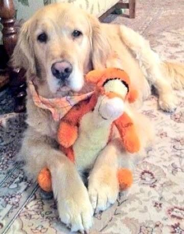 This sweet golden retriever loves his Tigger!