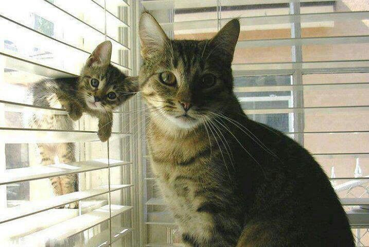 """No, I'm not teaching him to climb in the blinds. I'm...scolding him, yes, that's it, scolding him."""