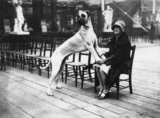 1926: Mrs H Bebbington and her Great Dane Hereward of Cubourough at the Croydon Dog Show.
