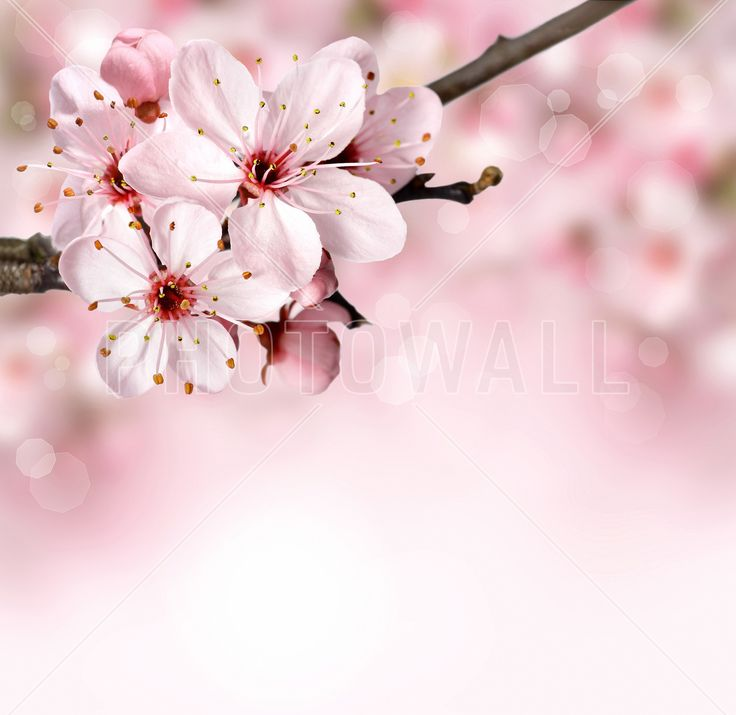 Spring Border Cherry Blossom - Fototapeter & Tapeter - Photowall
