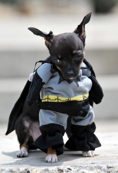 Dog Halloween Costume Ideas | Best| Best dog costume ever! Description from pinterest. & The 24 best too funny!!!!!!!!!!!!!!!!!!!!! images on Pinterest ...