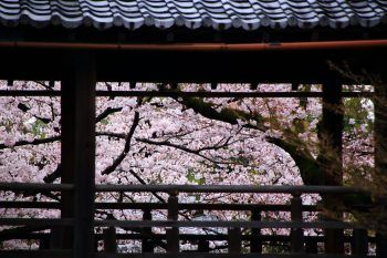 京都妙顕寺の回廊と満開の桜