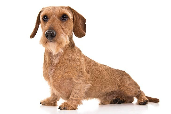 Top 13 Small Sized Dog Breeds For Families And Kids Dachshund