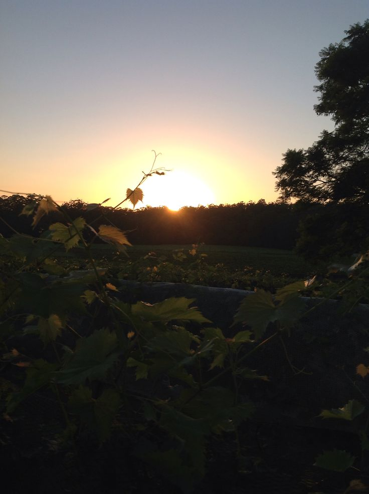 Sun rising in the vineyards at BAGO 9/1/2015