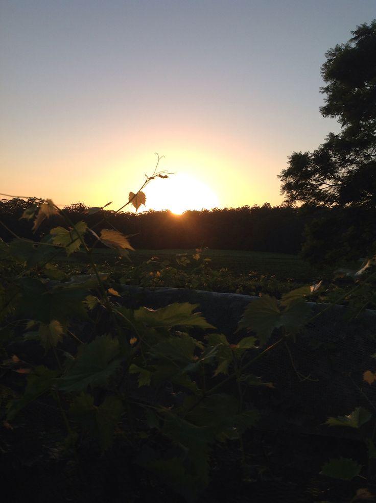 Sun rising in the vineyards at BAGO 9/1/2015