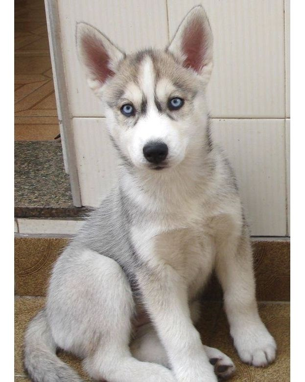 Credits To Photo Owner Our Present For All Husky Owners Out There