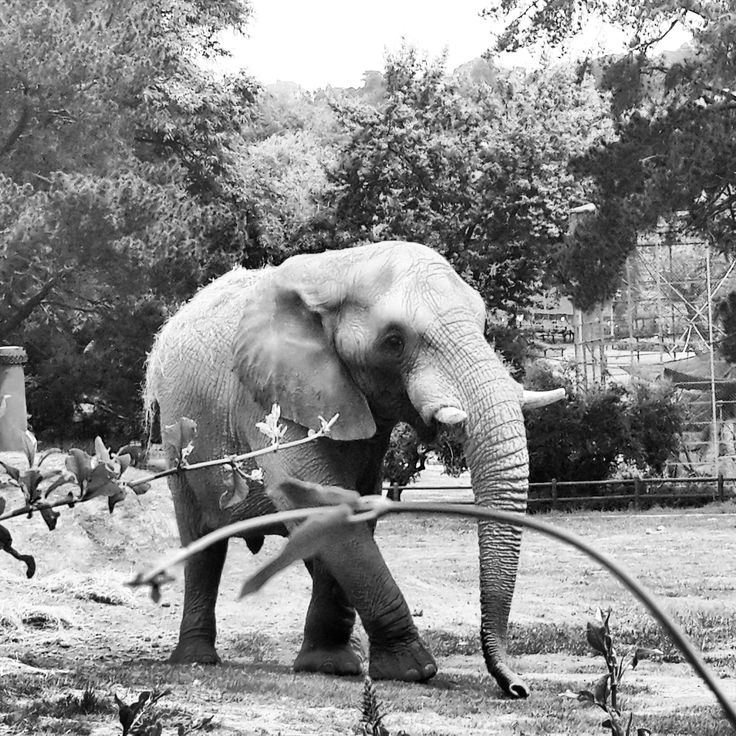Elephant at The Joburg Zoo. Johannesburg, South Africa (Photo: N.Martin)