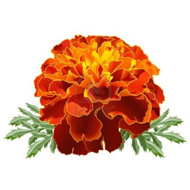 Marigold Flower Line Drawing : Best marigold images on pinterest wedding