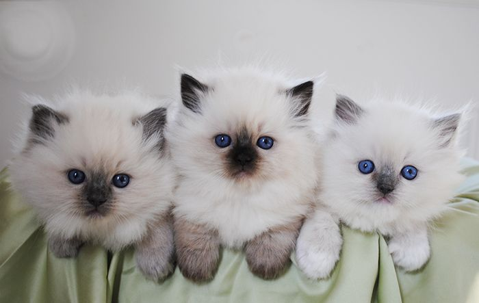 Blue Colorpoint left, Seal Colorpoint middle, Blue Mitted right.