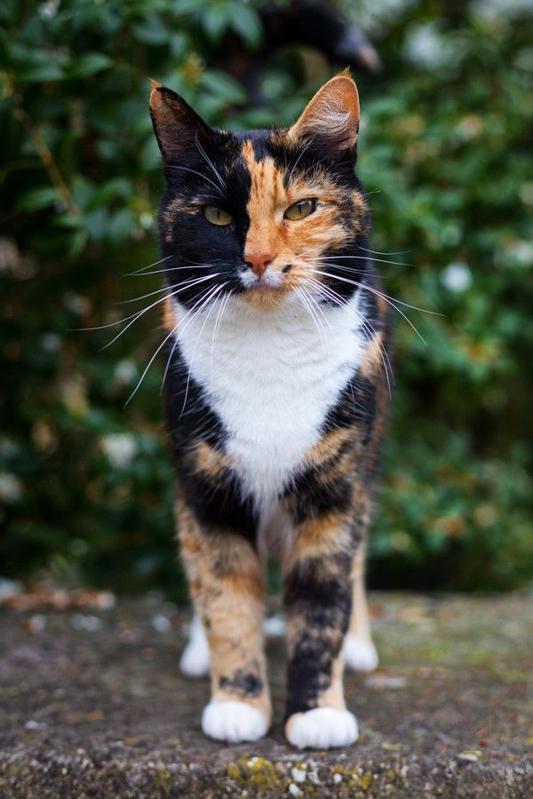 Pin On Calico Tortoiseshell Cats In The Garden