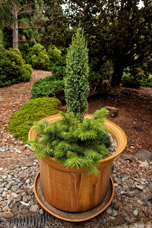 38 best images about evergreens in containers on pinterest