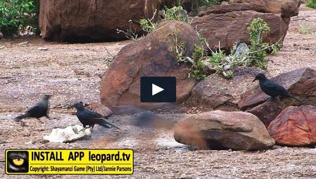 Leopard sleeping place, advantage point for  any carnivore! #leopardtv #shayamanzi