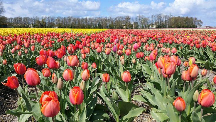 Holland im Frühling, ein Paradies für Natur- und Blumenfans. Alljährlich findet im Frühjahr der Blumencorso statt. Drei Tage lang schmücken viele hundert Freiwillige die Prunkwagen mit Hyazinthen, …
