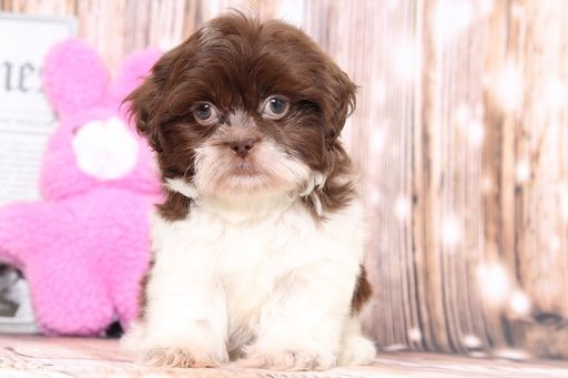 Shih Tzu Puppy For Sale In Bel Air Md Adn 71380 On Puppyfinder