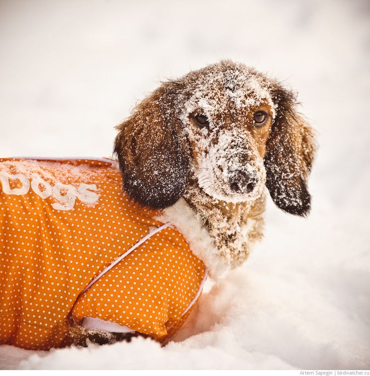 I sure love my weiner dog... she whould never go in the snow like that one did..  lol   Snow Weiner Dog