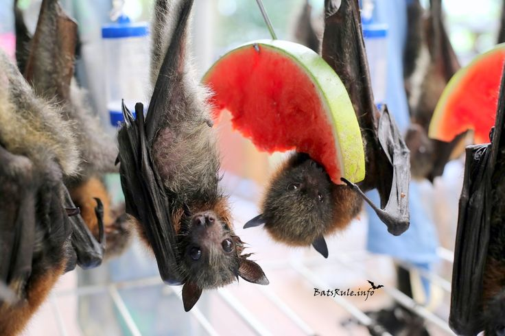ABC rehab Megabats Flying-fox Fruit Bat 29/12/2016 p2 more pics... http://www.batsrule.info/2016/12/abc-rehab-megabats-flying-fox-fruit-batp2.html