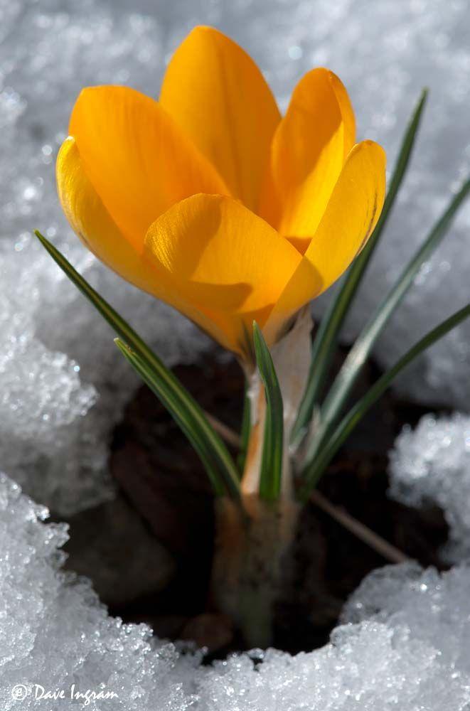 Crocus in a snow.
