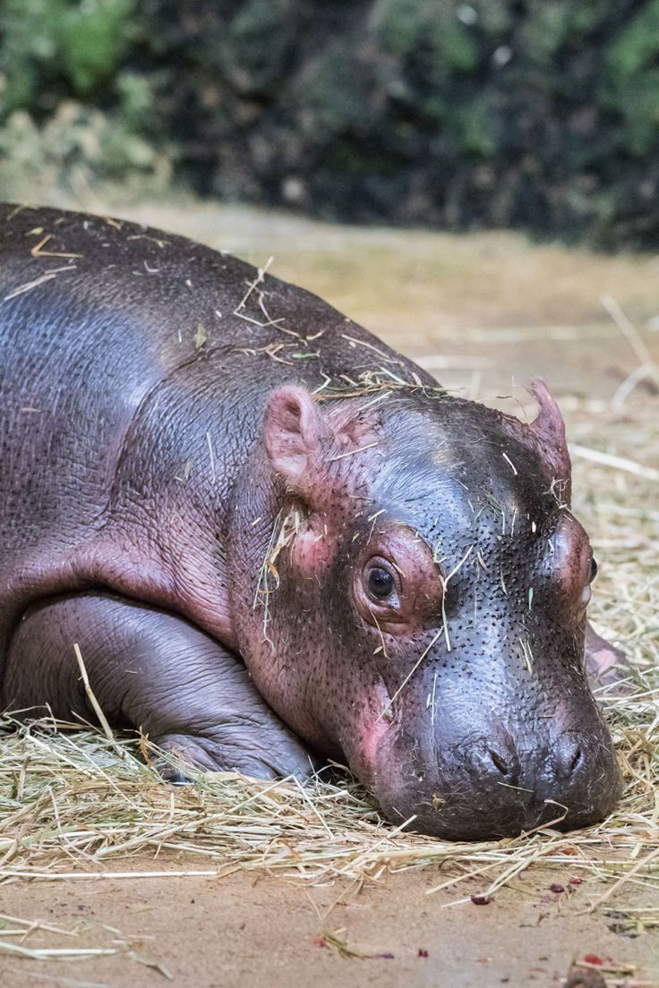 Hippo Calf Bonds With Mom at Zoo Basel