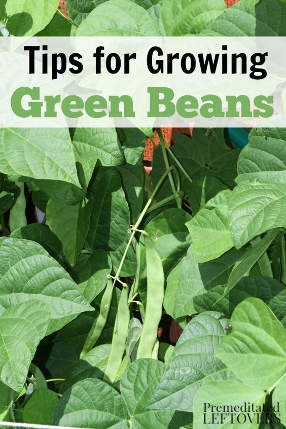 How to Grow Green Beans in your garden, including how to plant green bean seeds, how to transplant and care for green bean seedlings, how to harvest green beans, and more gardening tips.