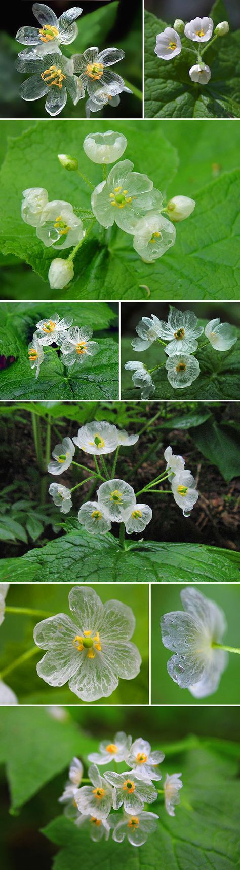 Say hello to the Skeleton Flower, a white woodland blossom whose petals turn crystal clear when they make contact with water. Diphelleia grayi, the scientific name of the Skeleton Flower, can be found in only three parts of the world. Oh, and when the the leaves dry out, they turn back to being white.