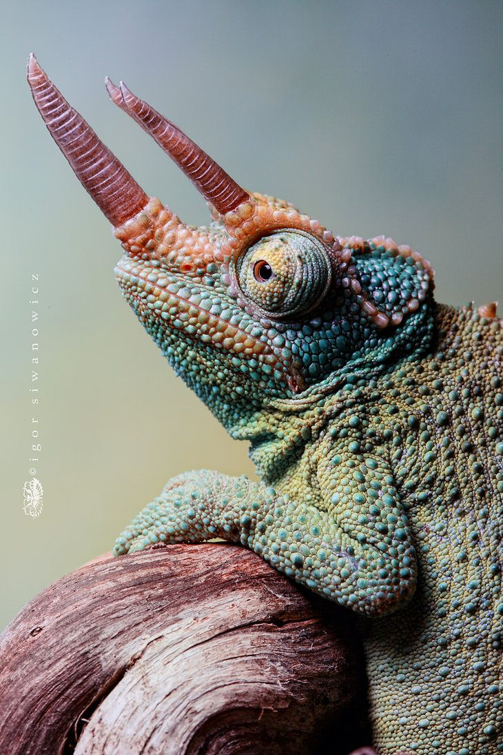 This is the next Chameleon that I would love if I'm successful with my veiled Chameleon. It's a Jackson's Chameleon!