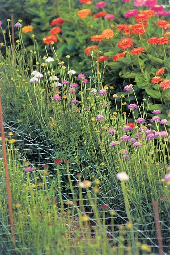 Plastic-mesh support netting helps produce flowers with long, straight stems.