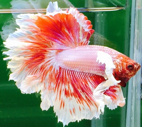 476 best images about betta fish on pinterest for Baby betta fish care