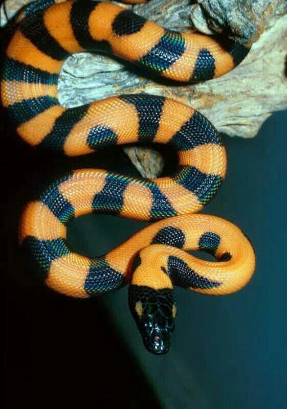 Juvenile ringed python                                                                                                                                                                                 More