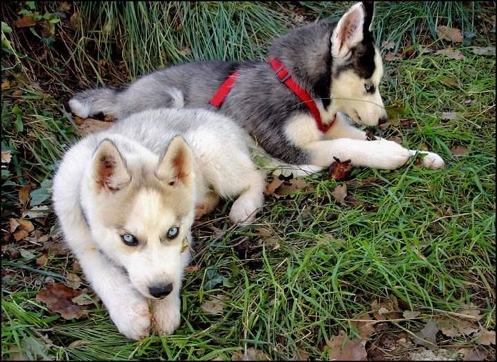 Sweety cute siberian husky