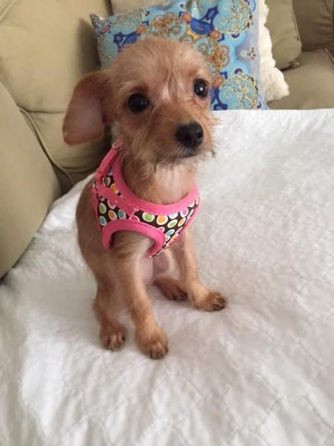 11/12/2016 ADOPT YOUNG PUPPY Canary, born around Sept 15th 2016, Terrier / Chihuahua mix, small baby female, smart, loving, loves attention, cute. Rescued with her brother but he did not make it. A tiny affectionate orphan who just wants to love and be loved.