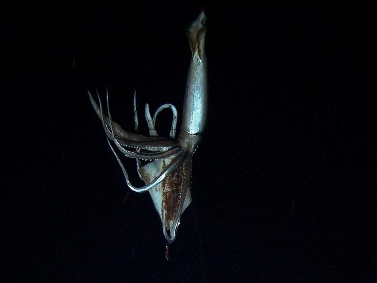 Eerste beelden van mythische reuzeninktvis | nu.nl/wetenschap | Het laatste nieuws het eerst op nu.nl