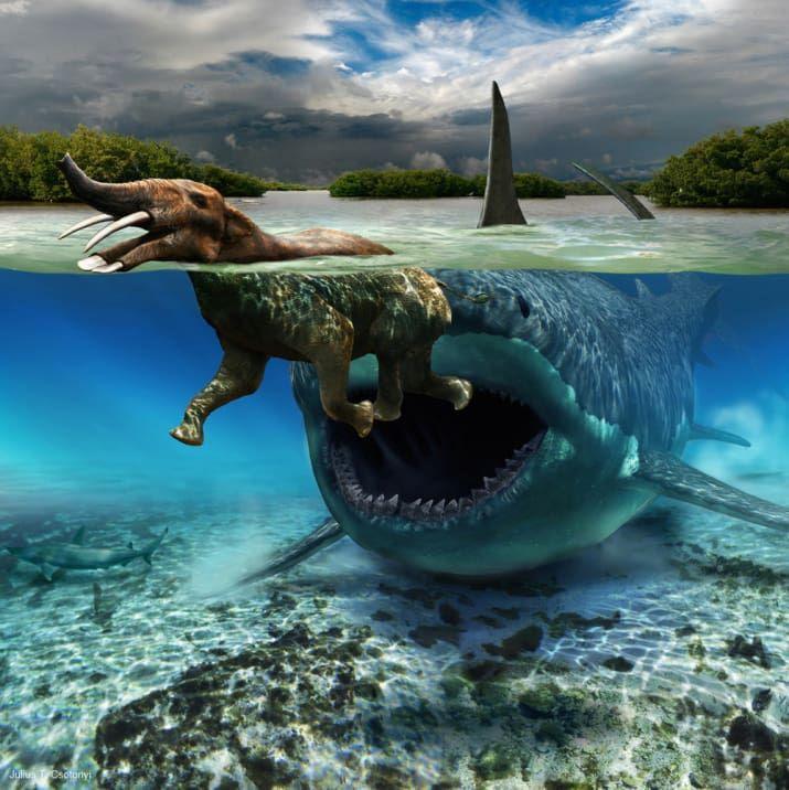 """Até cerca de 1,5 milhão de anos atrás, tubarões muito, muito grandes chamados C. megalodon rondavam pelos oceanos, representando um dos maiores predadores vertebrados que já existiram. """"O trabalho de recriação retrata uma interação pouquíssimo comum entre um destes típicos gigantes do mar aberto e um elefantídeo [Platybelodon] de médio porte com tromba em forma de pá enfrentando um péssimo dia"""", afirma Csotonyi."""