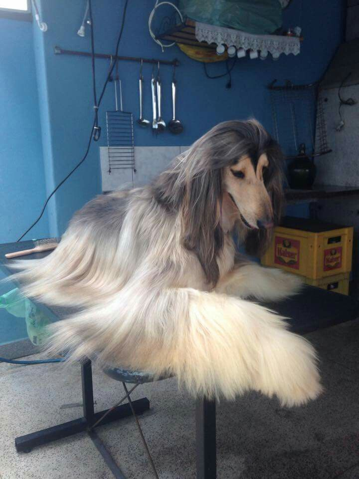 Hello I am looking for a afghan hound that's a female and I think she's beautiful so if so can u please contact me sharissa Thompson (864)5403026