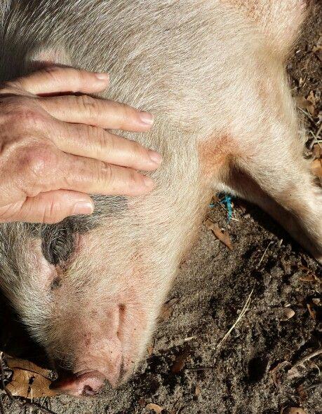Oooooh this little piggy like his ears rubbed....