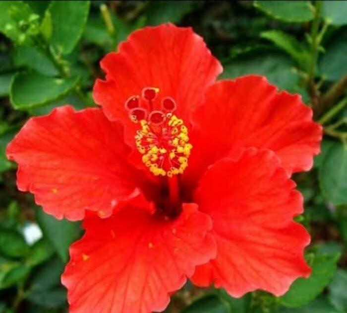 Wow 10 Sketsa Bunga Sepatu Jual Tanaman Bunga Kembang Sepatu Warna Merah Kota Tangerang Selatan Dhea Foresta Tokope Di 2020 Bunga Kembang Sepatu Bunga Kembang Sepatu