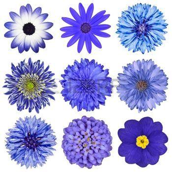 bleuet: La sélection de diverses fleurs bleu isolé sur fond blanc. Daisy…