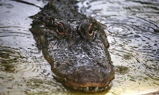 Νikolas: Η κρουαζιέρα του τρόμου: Τεράστιος αλιγάτορας πηδά...