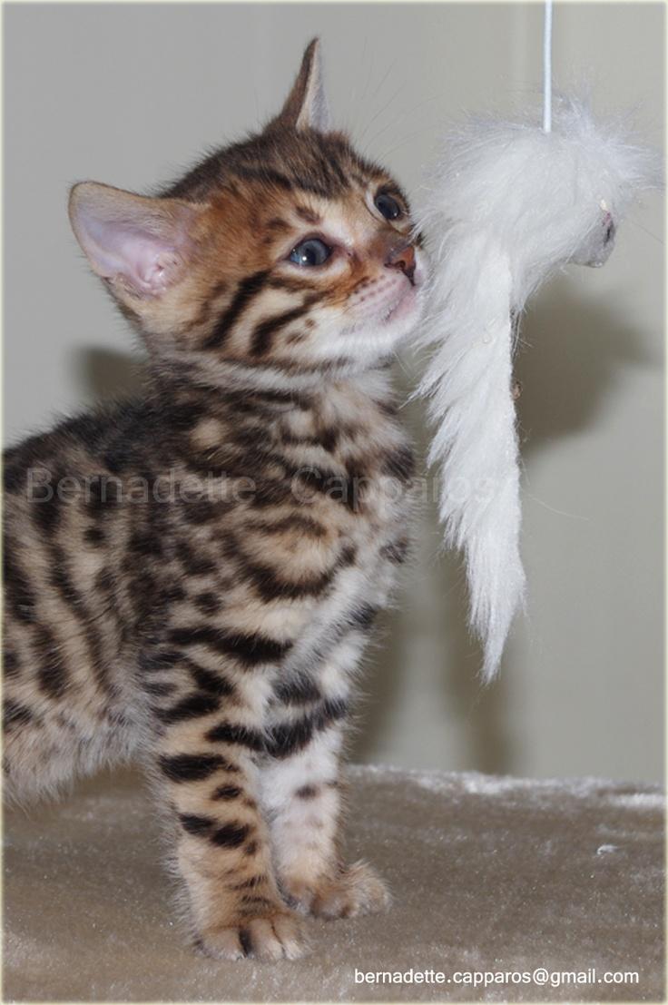1000 images about les chatons d 39 elle chatte bengal - Chaton bengal gratuit ...