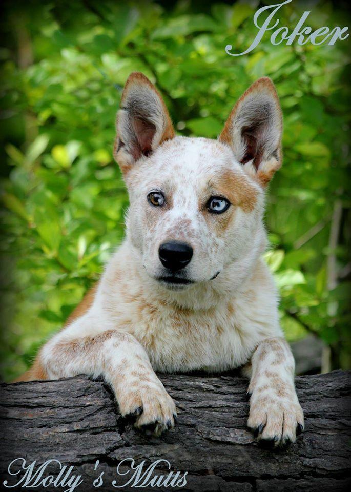 Meet Joker, a Petfinder adoptable Australian Cattle Dog (Blue Heeler) Dog   Dixon, KY   Meet Joker! He is a 1 1/2 year old Australian Cattle dog/husky mix with awesome blue eyes. Joker...