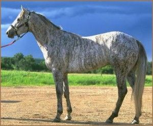 Grey Brindle: Quarter Hors, Grey Brindle, Horses, Hors Colors, Beautiful Hors, Brindle Hors, Coats, Reckless Dan, Animal
