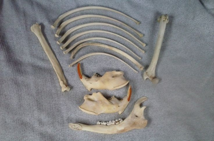 Lot of 11 Assorted Bones- Deer- Beaver- Coyote- Supplies- Taxidermy Supplies- Naturally Aged- Elusive Wolf by ElusiveWolf on Etsy