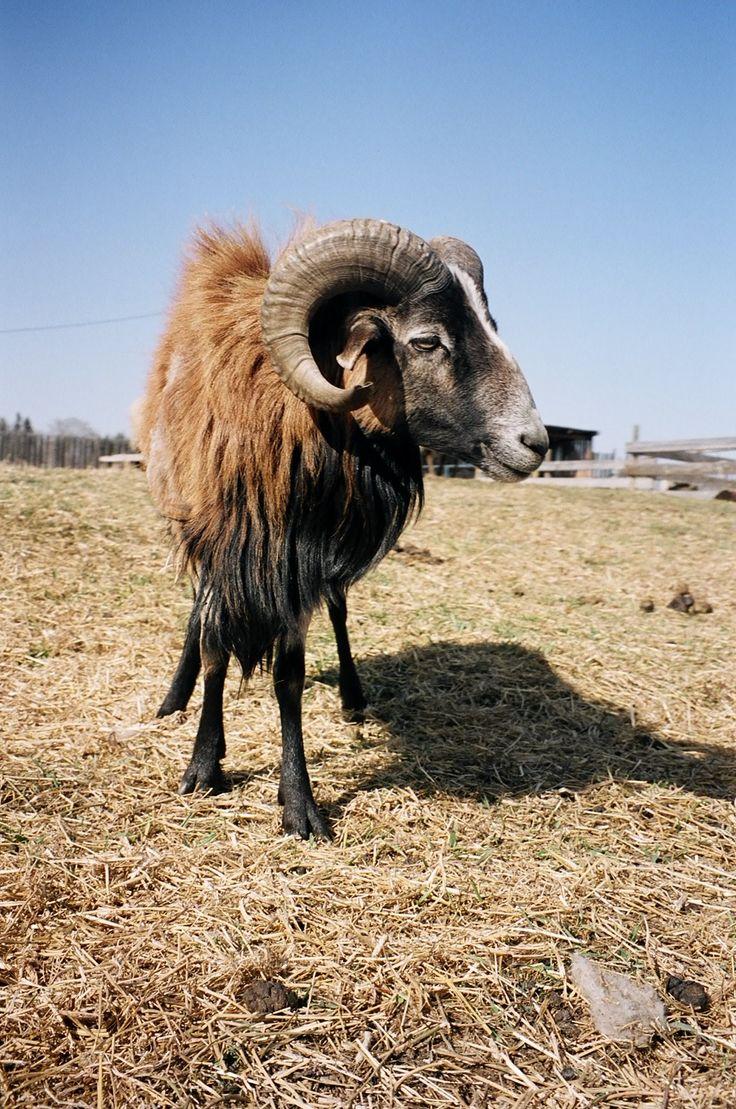 90 best livestock stuff images on pinterest livestock lambs and