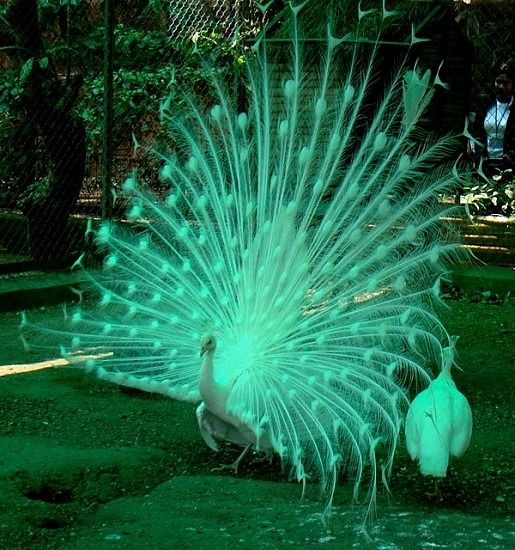 Dancing White Peacocks, Mumbai, India