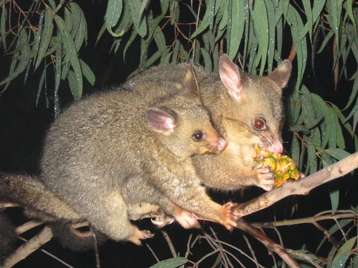 ringtail possum feet - Google Search