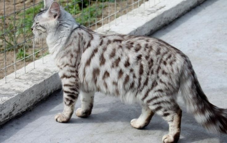 Long Haired Bengal Cashmere Cat Cats Bengal Kitten Cat