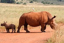 White rhinoceros mother and calf - Wikipedia, the free encyclopedia