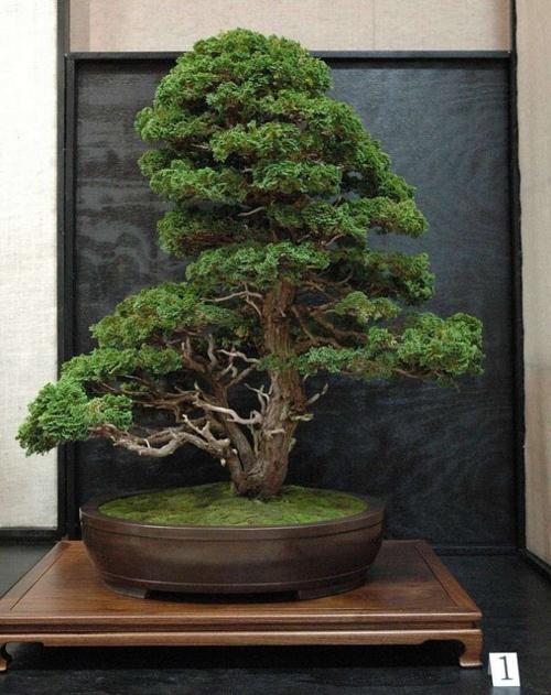 560 besten bonsai bilder auf pinterest bonsai zimmerpflanzen und pflanzen. Black Bedroom Furniture Sets. Home Design Ideas