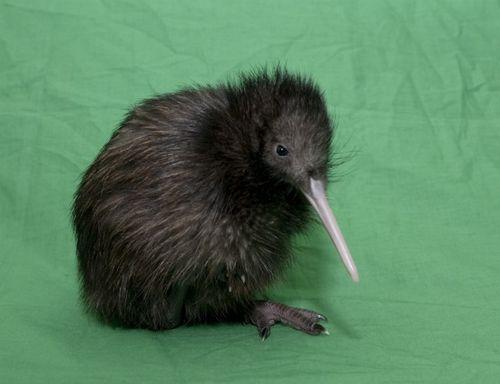 Le kiwi : un oiseau terrestre incapable de voler !!!!
