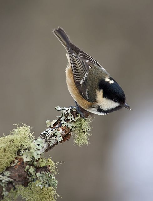 Coal Tit on branch by David C Walker 1967, via Flickr