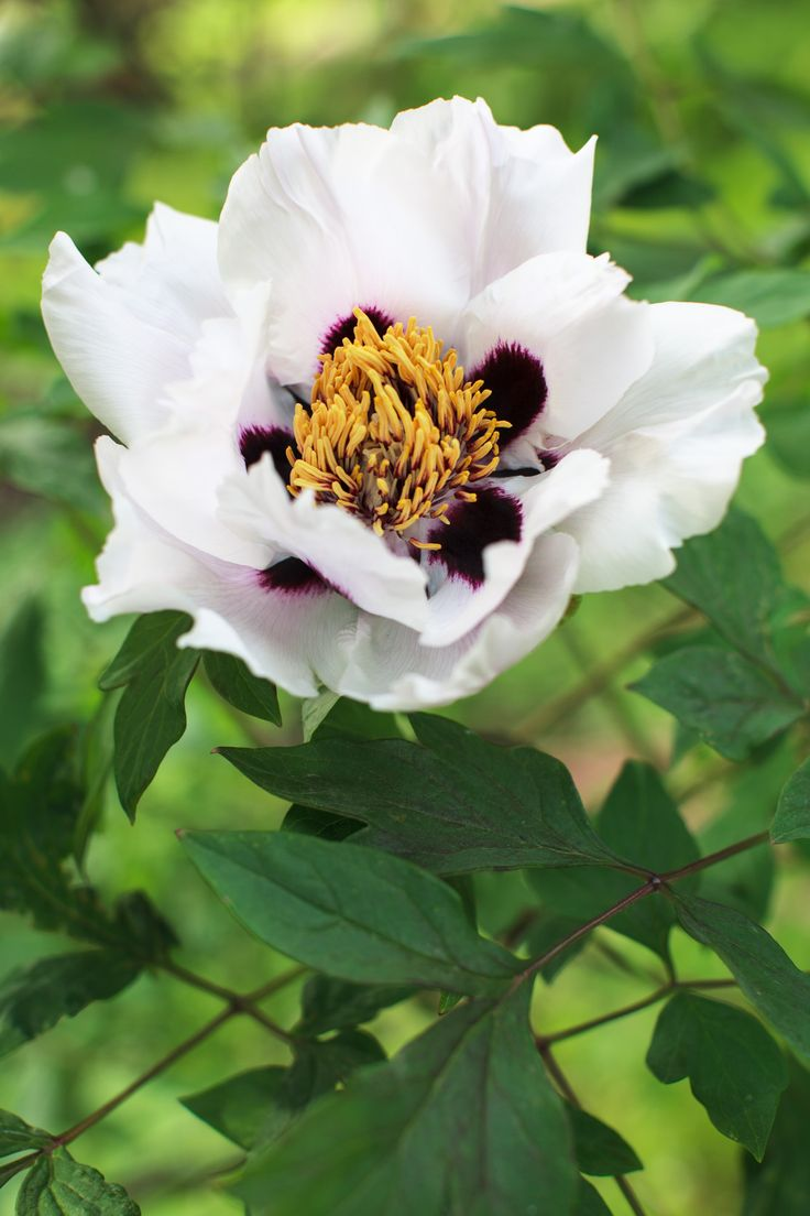 Paeonia rockii - tree peony Vild buskpion. Blommor upp till 20cm i diam. Rosa art mer härdig än vit sort. Blir 2m. Väldränerad, djup och aningen sur jord. Kogödsel.